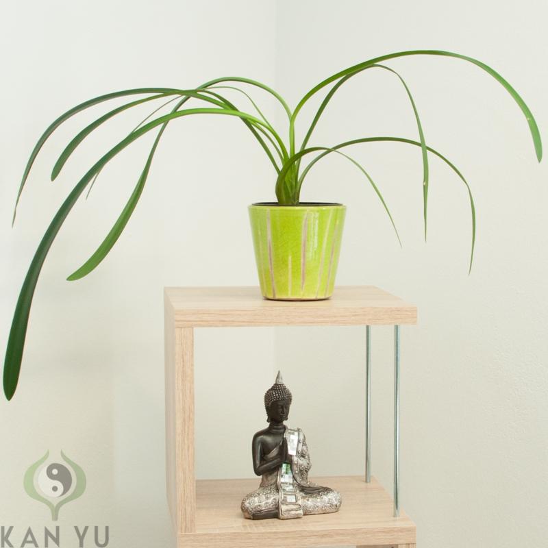 Clivie-Riemenblatt-aussergewoehnliche-Hybride-Clivia-miniata-nobilis