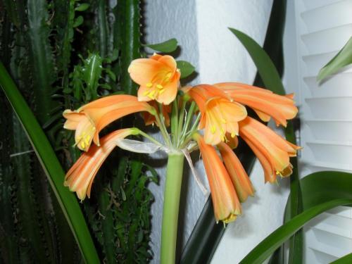 Blüte-Clivie-1a-Clivie miniata-nobilis