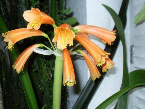 Blüte-Clivie-1b-Clivie miniata-nobilis