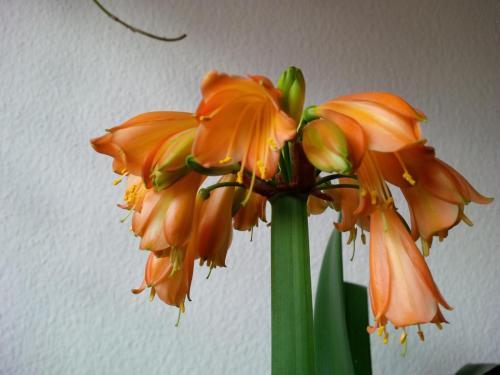 Clivie-E3 Blüte-1e-Clivie miniata-nobilis