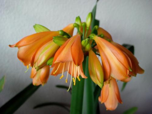 Clivie-E3 Blüte-1f-Clivie miniata-nobilis