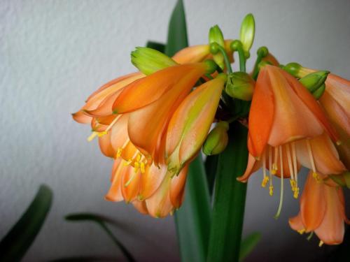 Clivie-E3 Blüte-1g-Clivie miniata-nobilis
