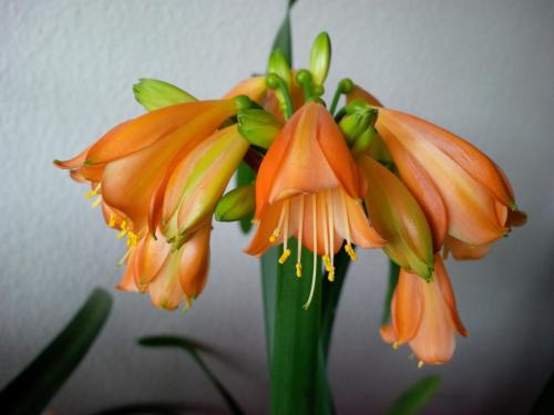 Clivie-E3 Blüte-1i-Clivie miniata-nobilis