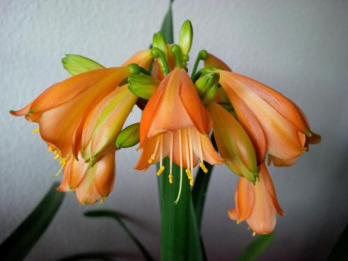 Clivie-E3 Blüte-1j-Clivie miniata-nobilis