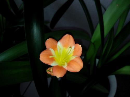 Clivie-S-04-11-1c-Clivie miniata-nobilis
