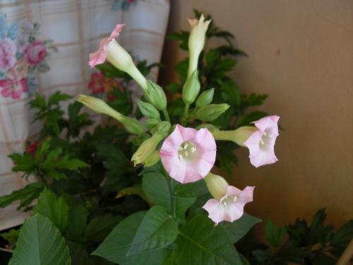 Blüte Tabakpflanze-1