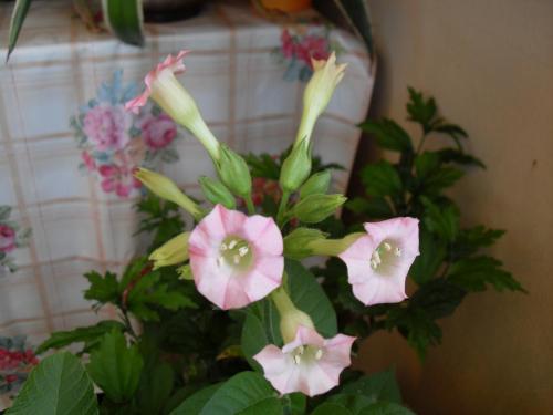 Blüte Tabakpflanze-2