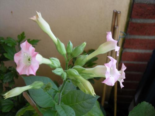 Blüte Tabakpflanze-4