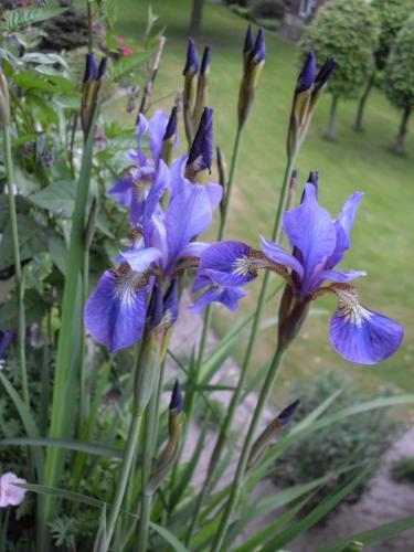 Blaue Sibirische Schwertlilie-5