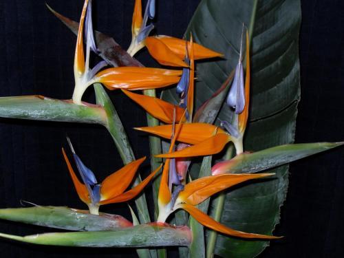 SDC12911-Paradiesvogel-Blume