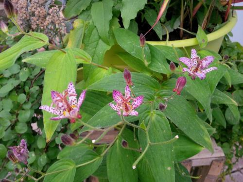 Tricyrtis Pink Freckles