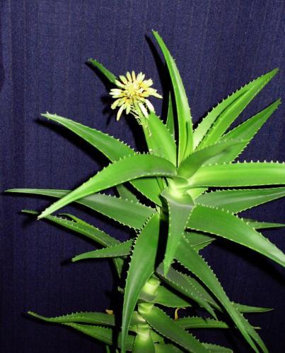 Aloe mit Blüte-3a