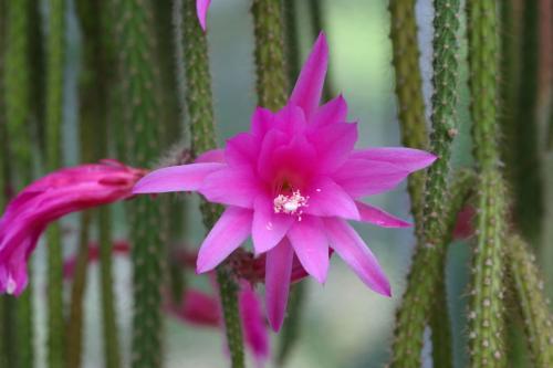 Aporocactus Hybride (Cactaceae). Blüte