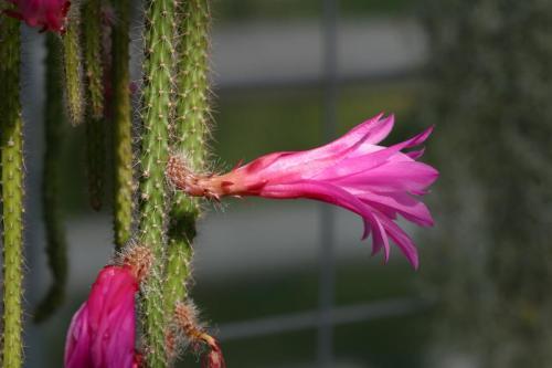 Aporocactus Hybride Blüte