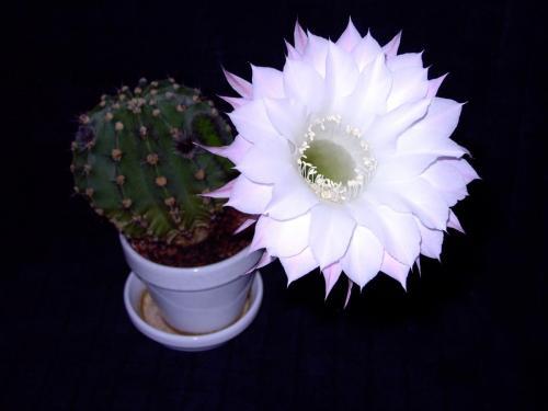 Echinopsis eyriesii-1b