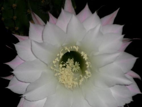 Echinopsis eyriesii-2b