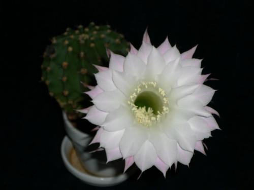 Echinopsis eyriesii-2e