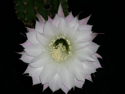 Echinopsis eyriesii-2i