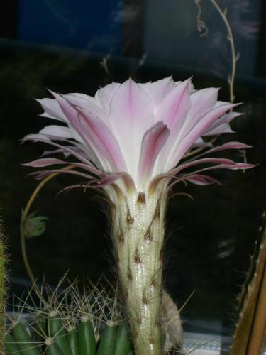 Echinopsis eyriesii-2j