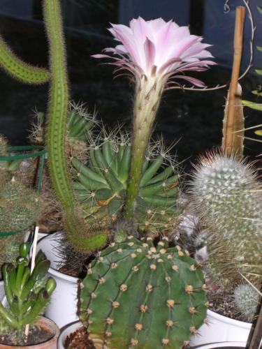 Echinopsis eyriesii-2k
