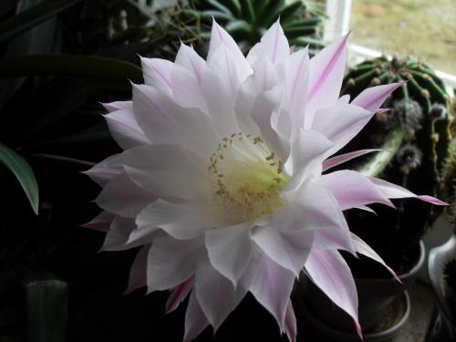 Echinopsis eyriesii Blüte weiß-2b