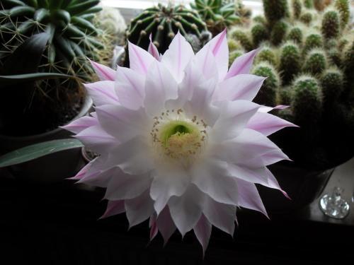 Echinopsis eyriesii Blüte weiß-2d