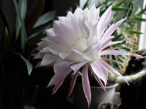 Echinopsis eyriesii Blüte weiß-2e