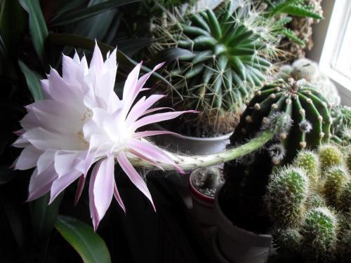 Echinopsis eyriesii Blüte weiß-2g