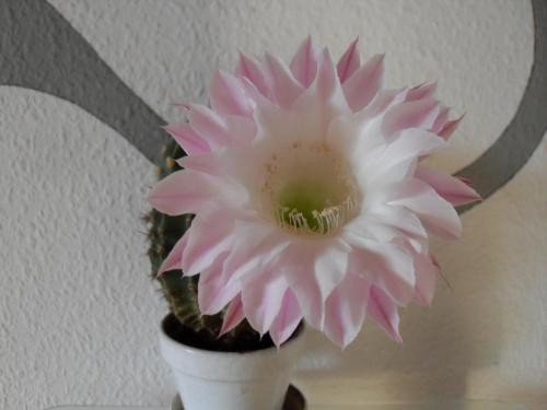 Echinopsis eyriesii Blüte weiß-2q