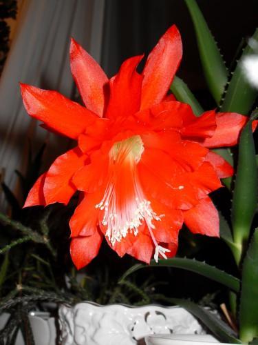 Epiphyllum Blüte rot-1d