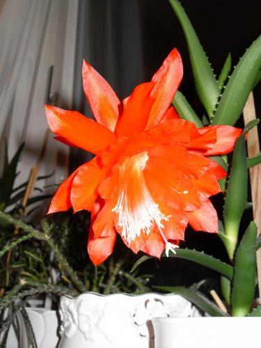 Epiphyllum Blüte rot-1i