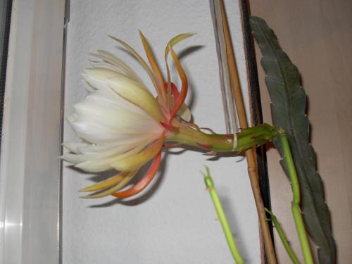 Epiphyllum Blüte weiß-1b