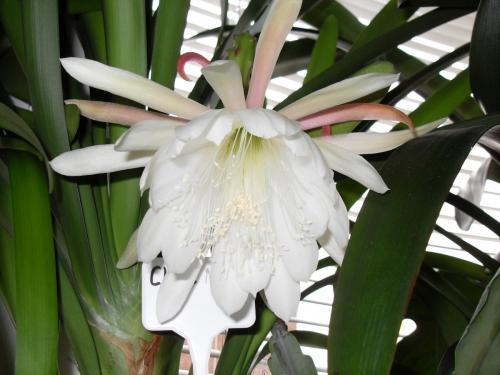 Epiphyllum Blüte weiß-1f
