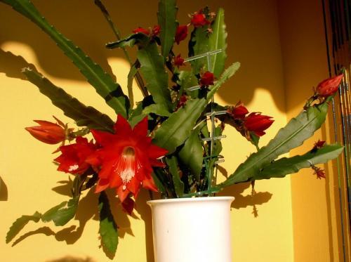 Epiphyllum rot-4a