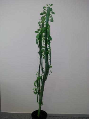Euphorbia trigona, Dreirippige Wolfsmilch-1a