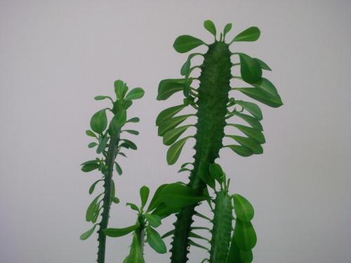 Euphorbia trigona, Dreirippige Wolfsmilch-2a
