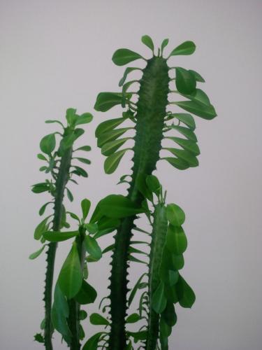 Euphorbia trigona, Dreirippige Wolfsmilch-2b