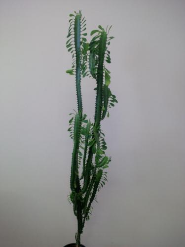 Euphorbia trigona, Dreirippige Wolfsmilch-3a