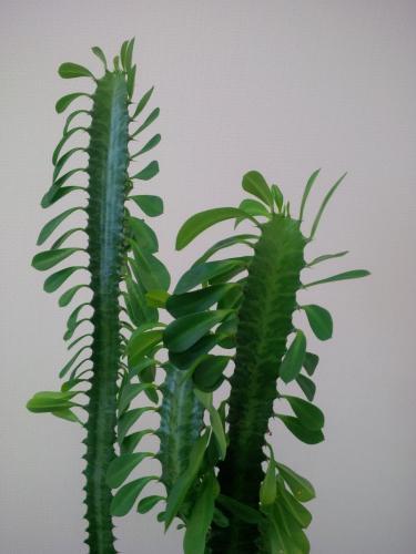 Euphorbia trigona, Dreirippige Wolfsmilch-3d