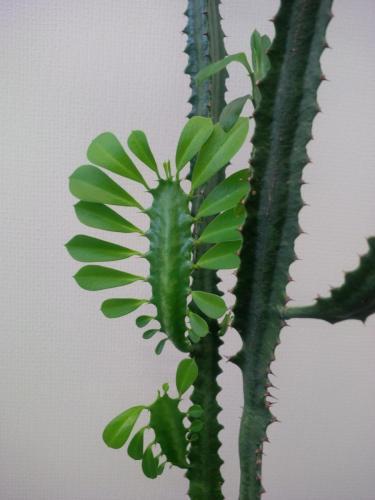 Euphorbia trigona, Dreirippige Wolfsmilch-3f