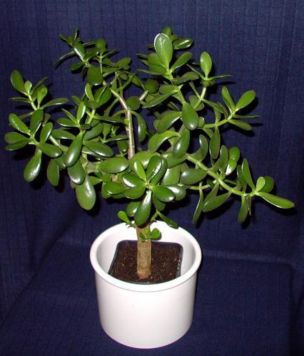 Jade Bonsai-D-5a