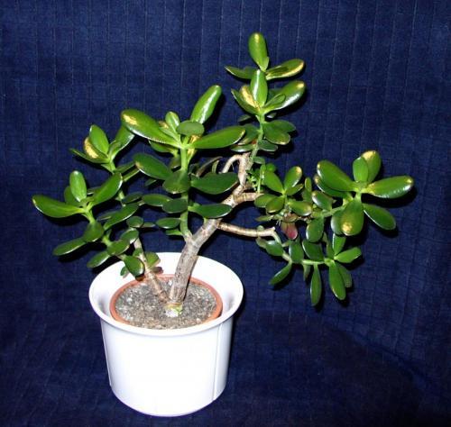 Jade Bonsai-G-1a