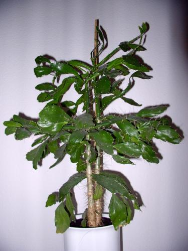 Opuntia Brasilensis-A1