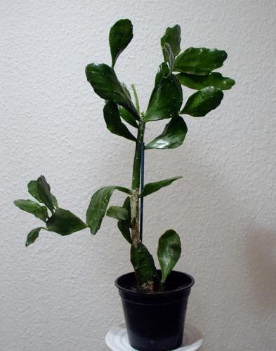 Opuntia Brasilensis-B1