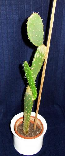 Opuntia ficus-4neu5a