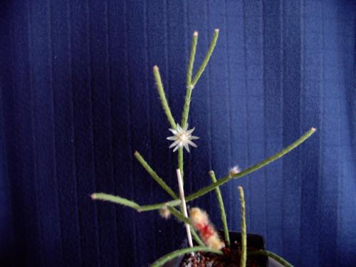 Rhipsalis-1d