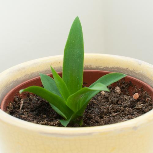 2014 10 15 KYH 0004-Ananas klein