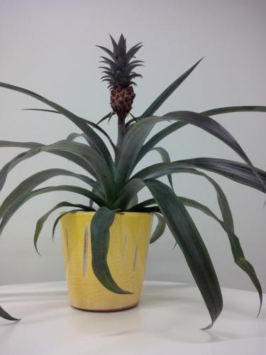 Ananas-2e