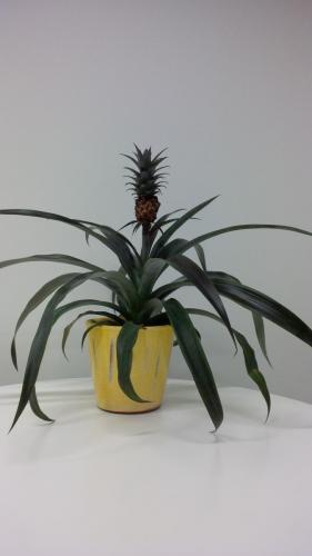 Ananas-2f