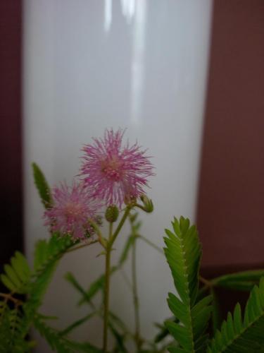Blüte Mimose-1a